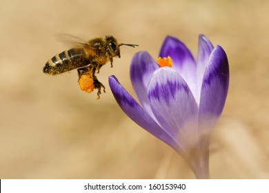 Honeybee (Apis mellifera), bees flying over the crocuses in the spring on a mountain meadow in the Tatra Mountains, Poland