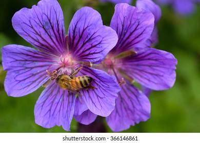 Honeybee (Apis mellifera) on cranesbill flowers