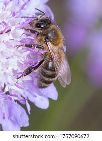 Honeybee (Apis mellifera) sitting on the pink flower