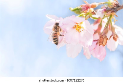 Honeybee collecting nectar on cherry blossoms