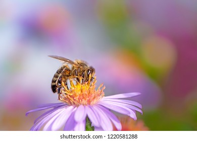 Honeybee collecting nectar on a purple aster flower.