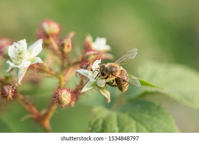 Honeybee collecting nectar pollen from bramble blackberry flower.