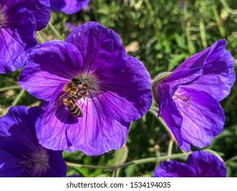 Honeybee collecting nectar from purple flower in bloom