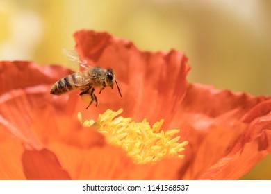 Honeybee collecting pollen from orange winter poppy