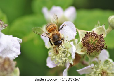 Honeybee collecting pollen from pink and white flower with leafy green background