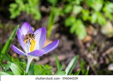 Honeybee collecting pollen from spring time purple crocus flower
