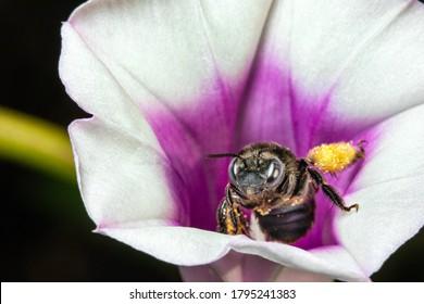 A honeybee collecting pollen from a sweet potato flower.
