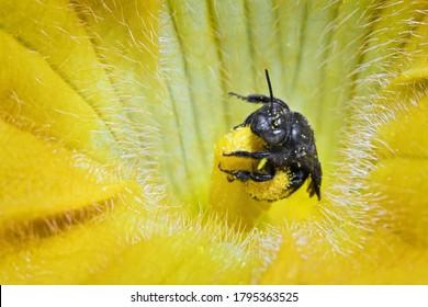 Honeybee collecting pollen from a zucchini flower.