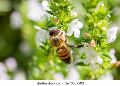 a honeybee collects honey from a white flower