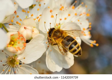 Honeybee collects nectar