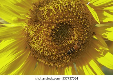 Honeybee collects nectar on a sunflower.