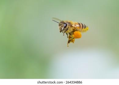 Honeybee flying with big pollen basket