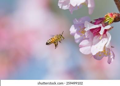 Honeybee flying to cherry blossom flower.