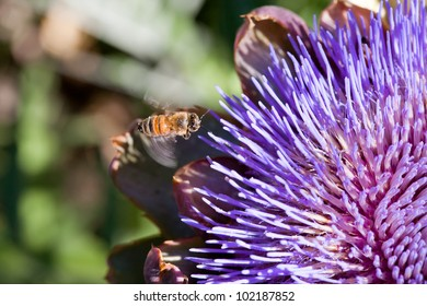 Honeybee flying to a flower to pollinate