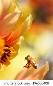 Honeybee flying to orange dahlia flower