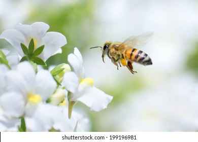 Honeybee flying to white Nemesia flower