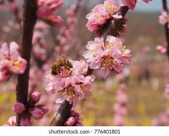 Honeybee foraging pink cherry blossoms.