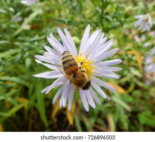 Honeybee gathering pollen from white flower