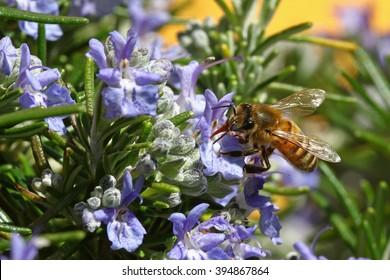 Honeybee going through a rosemary flower
