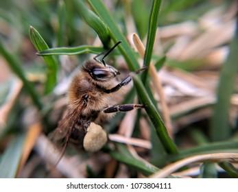 honeybee in grass