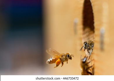 Honeybee Greeting:  A honeybee flies into her hive carrying the day's haul of pollen while another honeybee prepares to leave as if greeting the incoming bee.