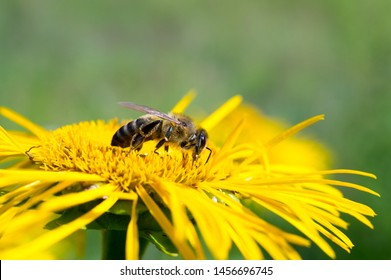 Honeybee, harvesting, flower, polen, healty