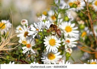 Honeybee (honey bee) on wild flowers