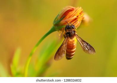 Honeybee kissing the sunflower.