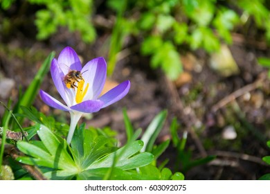 Honeybee with laden pollen sacs on a purple crocus in spring