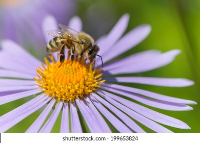 Honeybee on Aster flower