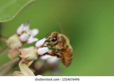 Honeybee on blossoming milkweed plant