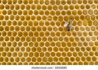 Honeybee on a comb
