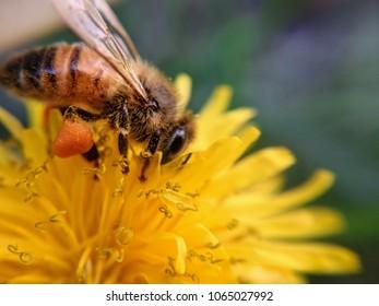 honeybee on a dandelion