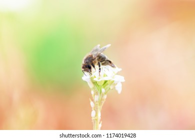 A Honeybee on a Floer in Berlin Germany as Macro