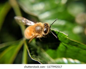 honeybee on green leaves
