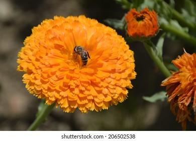 Honeybee on marigold flower