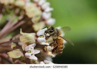 Honeybee on milkweed flowers