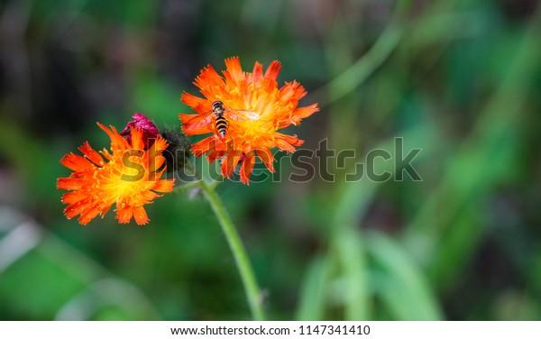 Honeybee on Orange Hawkweed blossom