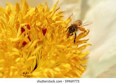 Honeybee on peony