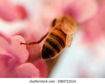 honeybee on pink flowers