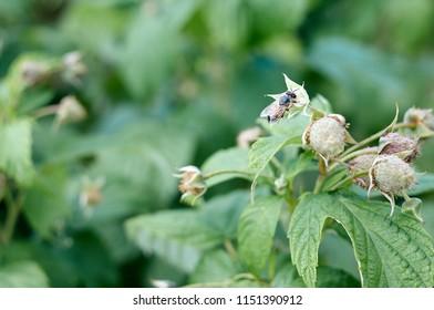 Honeybee on raspberry; Shallow depth of field; Focus on bee