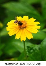 A honeybee on a yellow aster flower