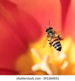 Honeybee with pollen basket flying over red tulip flower