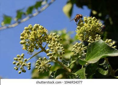 Honeybee with pollen on an ivy flower. flowering ivy.