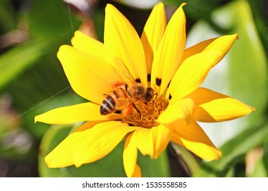 Honeybee with pollen on its legs on a yellow flower