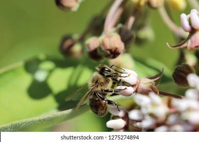 Honeybee pollinating a milkweed flower with sticky pollen on it's feet