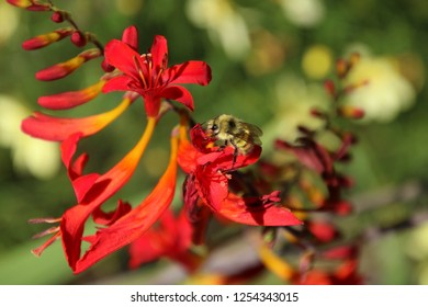A honeybee pollinating a red pitcher type plant with large blossoms