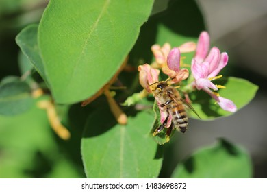 Honeybee Pollinating Small Pink Flowers on a Sunny Day