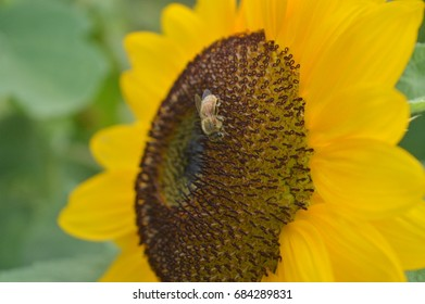 Honeybee pollinating a sunflower