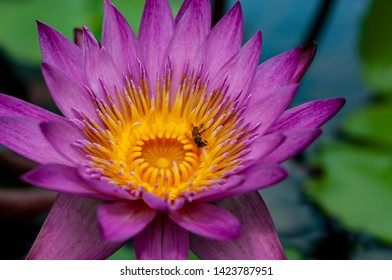 Honeybee Pollinating a Water Lily (Nymphaea nouchali).